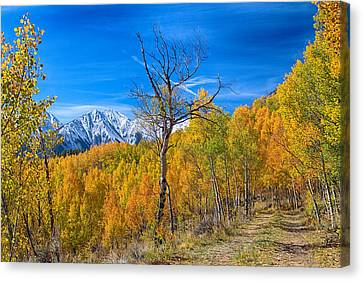 Aspen Tree Canvas Print - Colorado Fall Foliage Back Country View by James BO  Insogna