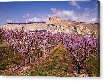 Colorado Orchards In Bloom Canvas Print by Teri Virbickis
