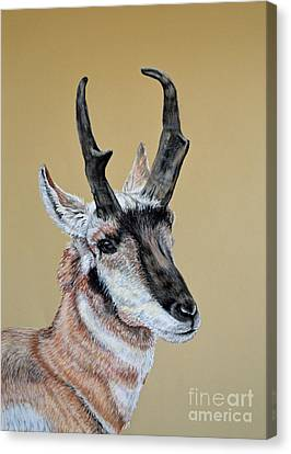 Colorado Plains Antelope Canvas Print by Ann Marie Chaffin