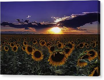 Colorado Sunflowers Canvas Print by Teri Virbickis