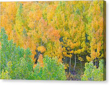Canvas Print featuring the photograph Colorful Aspen Forest - Eastern Sierra by Ram Vasudev