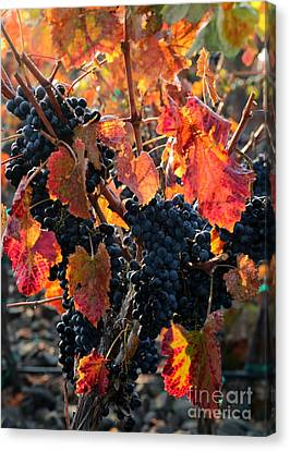 Vintner Canvas Print - Colorful Autumn Grapes by Carol Groenen