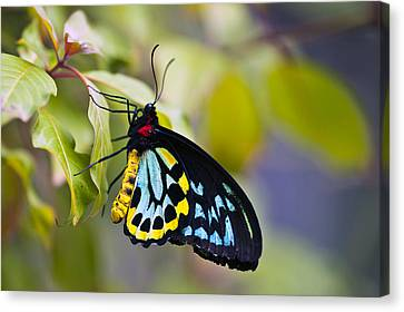 colorful butterfly Ornithoptera priamus Canvas Print