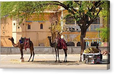 Colorful Camels - Jaipur India Canvas Print by Kim Bemis
