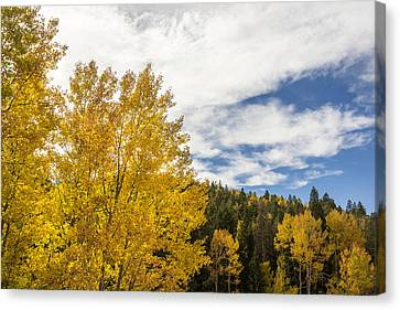 Colorful Changing Aspens - Divide Colorado Canvas Print by Brian Harig