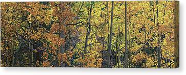 Colorful Changing Aspens Panorama - Divide Colorado Canvas Print by Brian Harig