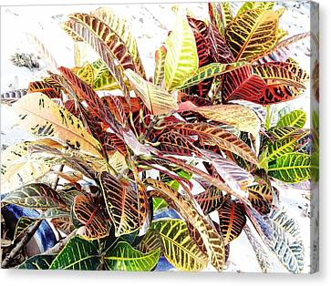 Colorful - Croton - Plant Canvas Print by D Hackett