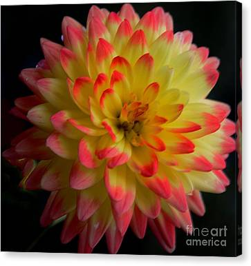 Colorful Dahlia Canvas Print by Kathleen Struckle