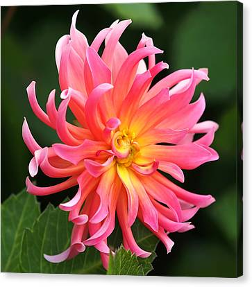 Colorful Dahlia Canvas Print by Rona Black