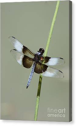 Colorful Dragon Fly Closeup Canvas Print