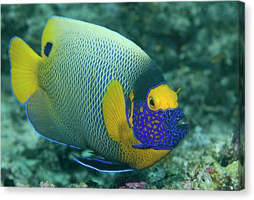 Colorful Emperor Angelfish (pomacanthus Canvas Print