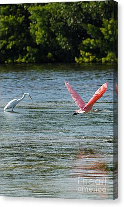 Jn Ding Darling National Wildlife Refuge Canvas Print - Colorful Flight Of The Spoonbill by Natural Focal Point Photography