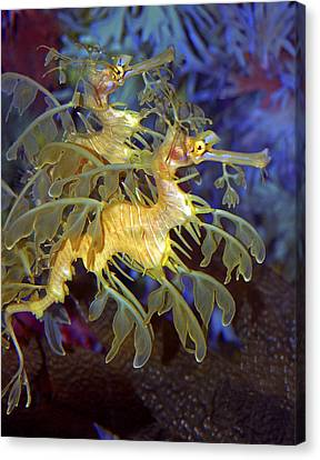Colorful Leafy Sea Dragons Canvas Print