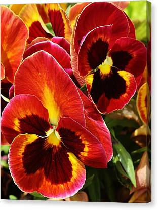 Colorful Pansies Canvas Print by Bruce Bley