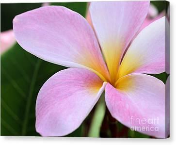 Florida Flowers Canvas Print - Colorful Pink Plumeria Flower by Sabrina L Ryan