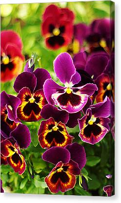 Canvas Print featuring the photograph Colorful Purple Pansies by Suzanne Powers