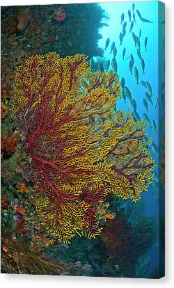 Colorful Sea Fan Or Gorgonian Coral Canvas Print by Jaynes Gallery