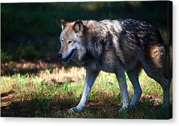 Colorful Wolf Canvas Print by Karol Livote