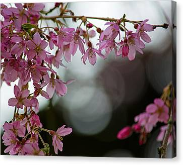 Canvas Print featuring the photograph Colors Of Spring - Cherry Blossoms by Jordan Blackstone