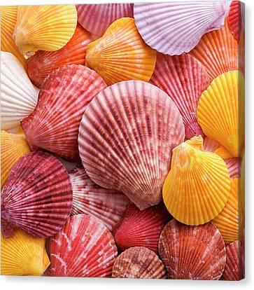 Colourful Scallop Shells Canvas Print