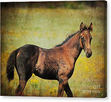 Colt In The Meadow I Canvas Print by Jai Johnson