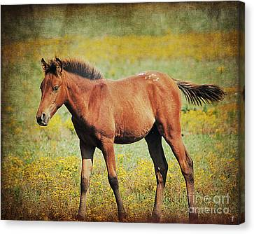 Colt In The Meadow II Canvas Print by Jai Johnson