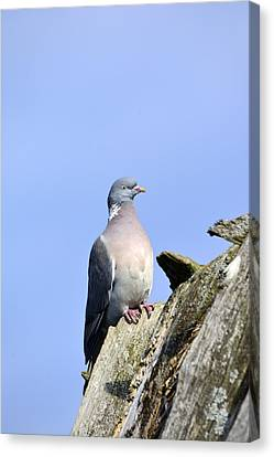 Columba Palumbus Canvas Print by Tommytechno Sweden