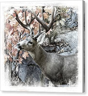 Canvas Print featuring the photograph Columbia Blacktail Deer by Aaron Berg