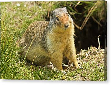 Columbia Ground Squirrel, Rogers Pass Canvas Print by Michel Hersen