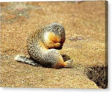 Columbia Ground Squirrel (urocitellus Canvas Print