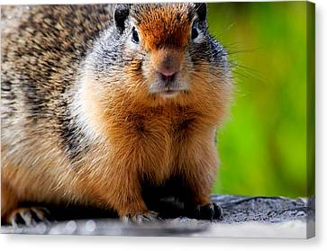 Columbian Ground Squirrel Canvas Print