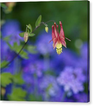 Canvas Print featuring the photograph Columbine And Verbena by Jane Eleanor Nicholas