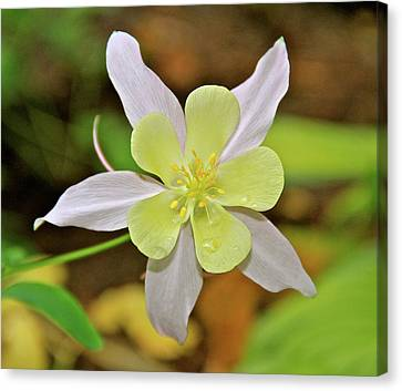 Columbine Charlie's Garden Canvas Print by Ed  Riche