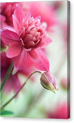 Columbine 'clementine Rose' Canvas Print by Maria Mosolova