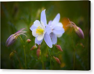 Metalic Canvas Print - Columbine by Darren  White