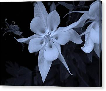 Columbine Flower Canvas Print