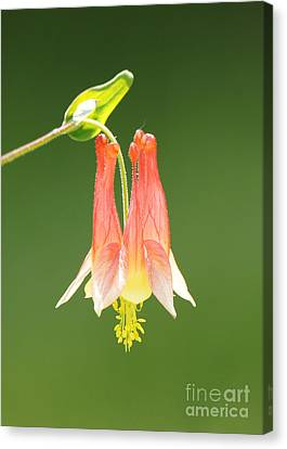 Columbine Flower In Sunlight Canvas Print