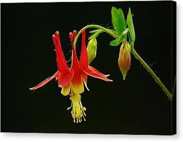 Columbine Flower Canvas Print by Joy Bradley
