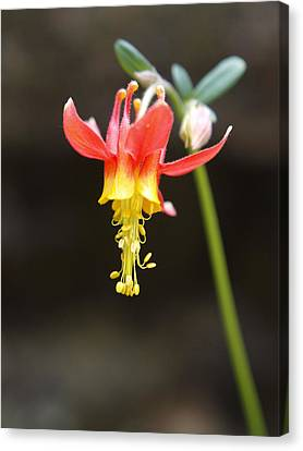 Columbine Canvas Print by Jenessa Rahn