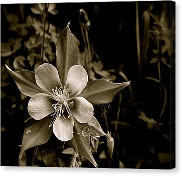 Columbine Canvas Print by Kim Pippinger