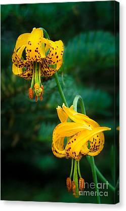 Columbine Lilies Canvas Print