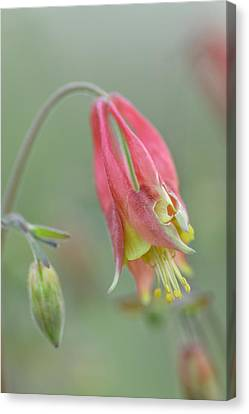 Columbine Softly  Canvas Print by Debbie Green