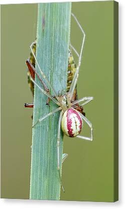 Arachnida Canvas Print - Comb Footed Spider by Heath Mcdonald