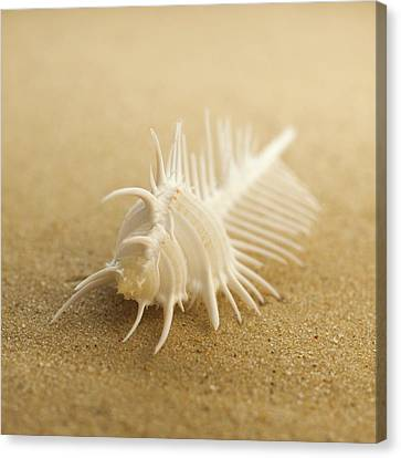 Comb Shell On Sand Canvas Print by Science Photo Library