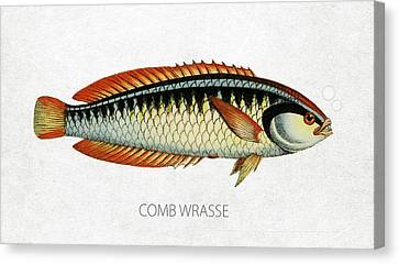 Comb Wrasse Canvas Print by Aged Pixel