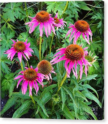 Canvas Print featuring the photograph Comely Coneflowers by Meghan at FireBonnet Art