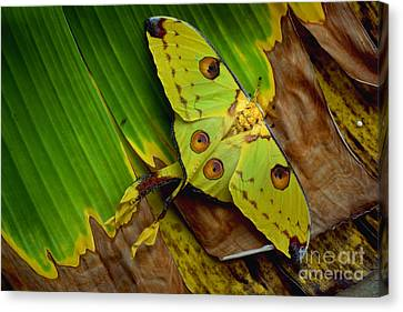 Comet Moth Canvas Print by Art Wolfe