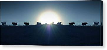 Angus Steer Canvas Print - Coming Home by Mike McGlothlen