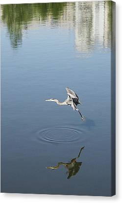 Coming In For A Landing Canvas Print by Ellen O'Reilly