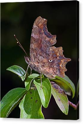 Comma Butterfly Catalonia Spain Canvas Print by Frans Hodzelmans